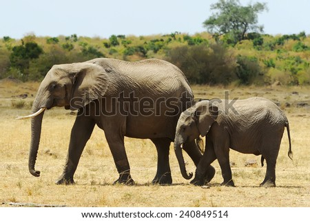 African Elephants (Loxodonta africana) on the Masai Mara National Reserve safari in southwestern Kenya. - stock photo