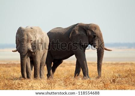 African elephants (Loxodonta africana) on the open plains of the Etosha National Park, Namibia - stock photo