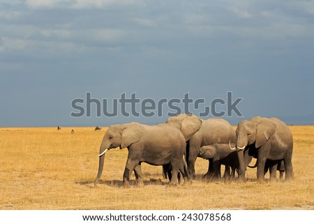 African elephants (Loxodonta africana) walking in grassland, Amboseli National Park, Kenya
