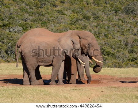 African Elephants meeting at a watering hole in Southern Africa