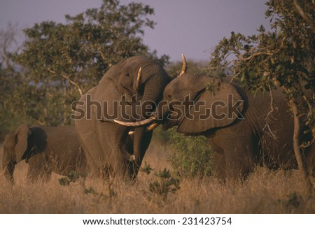 African Elephants Nuzzling Next to Trees - stock photo