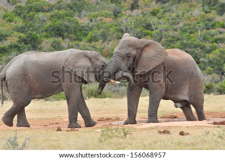 African Elephants playing