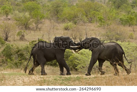 african elephants playing in the savannah, Kruger - stock photo