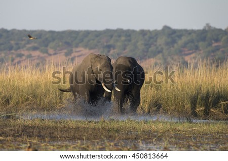 African Elephants running in the Chobe River at Kasane, Botswana