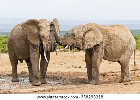African elephants touching each other with their trunks while drinking at a waterhole
