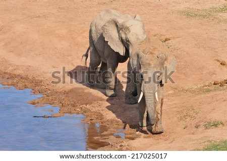 African Elephants walking around a watering hole