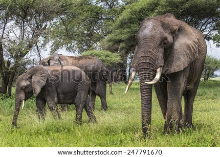 African elephants walking in savannah in the Tarangire National Park, Tanzania - stock photo