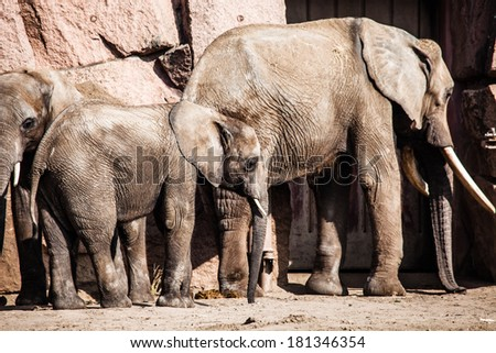 African Elephants with their trunks  - stock photo
