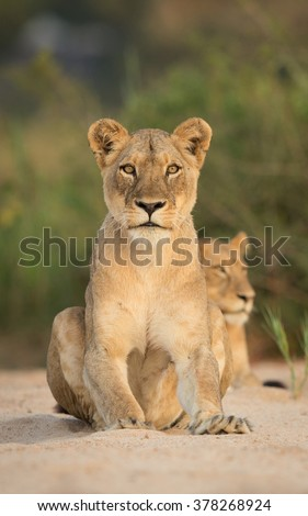 African female lion sitting up in sandy river bed in the Kruger Park South Africa - stock photo