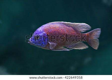 African fish Copadichromis borleyi Kadango - stock photo