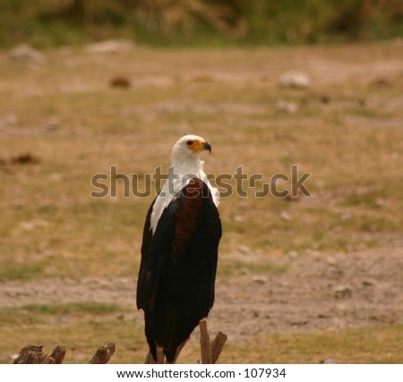 African fish eagle 3,04 - stock photo