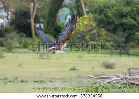 African Fish-Eagle catching a fish and flying away - stock photo