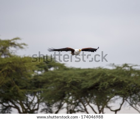 African Fish Eagle flying above the trees - stock photo