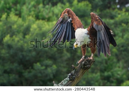 African Fish Eagle (Haliaeetus vocifer) at a Birds of Prey Rehabilitation Center in South Africa - stock photo