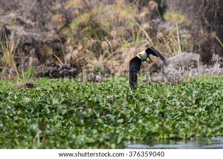 African Fish-Eagle hunting for new prey. Flying along Lake Naivasha. - stock photo