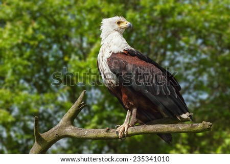 African fish eagle in a tree. A stunning African fish eagle is seen perched in a tree beside a lake. - stock photo