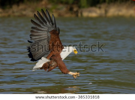 African fish eagle in flight attacking prey, Kenya, Africa - stock photo