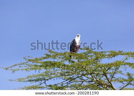 African Fish Eagle on a tree at Lake Naivasha, Kenya - stock photo