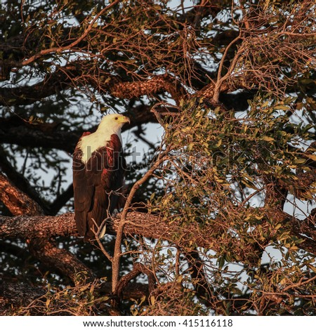 African fish eagle perched in tree over river