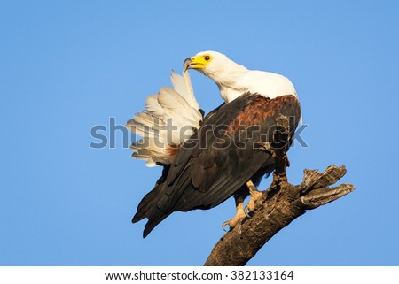 African Fish Eagle preening it's tail feathers on perch with blue sky - stock photo