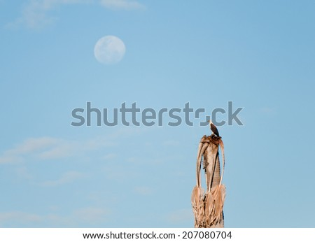 african fish eagle sitting at the top of a palm tree looking to the moon - national park selous game reserve in tanzania - stock photo