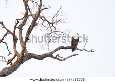 African fish eagle sitting in the tree - stock photo