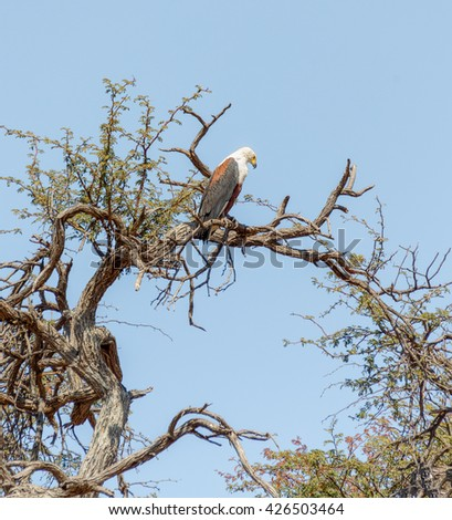 African Fish Eagle sitting on a dry tree on background of blue sky in Chobe National Park - Botswana, South-West Africa - stock photo