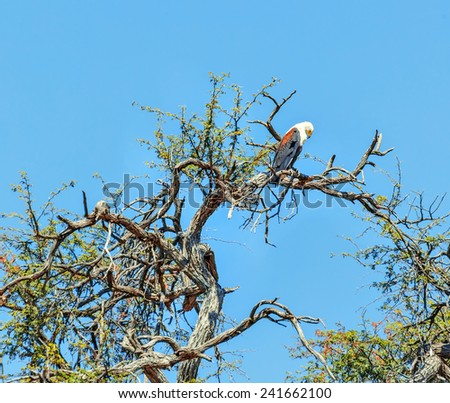 African Fish Eagle Sitting on branch in Chobe National Park - Botswana, South-West Africa - stock photo