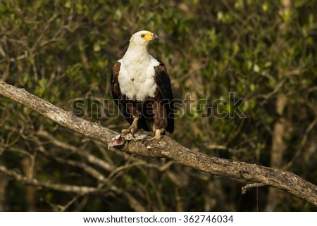 African Fish Eagle South Africa - stock photo