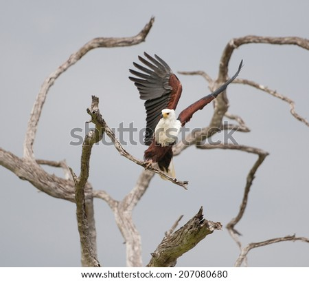 african fish eagle starting to fly from a dead standing tree - national park selous game reserve in tanzania - stock photo