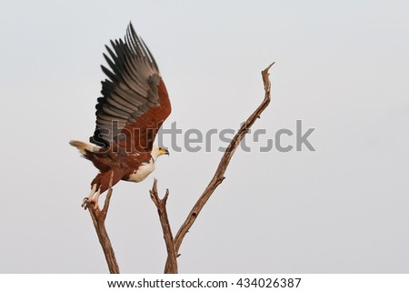 African fish eagle taking off from dead tree, South Africa