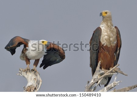 African Fish Eagles sitting on a dead tree - stock photo