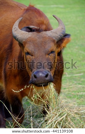 African forest buffalo eating hay.