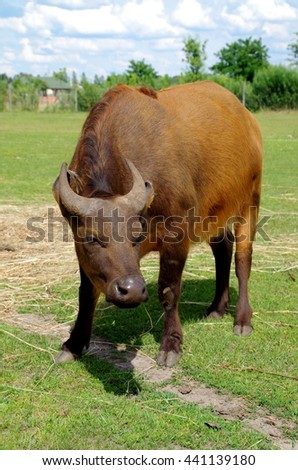 African forest buffalo portrait.  - stock photo