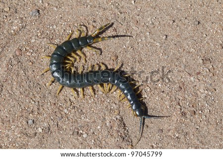 African Giant Blue Centipede