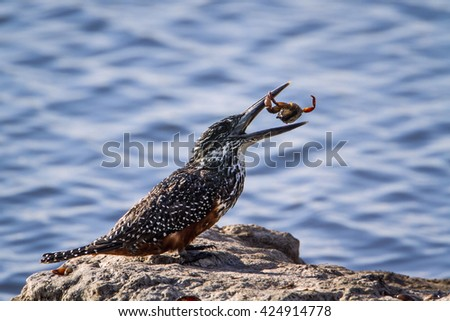 African giant kingfisher in Kruger national park, South Africa ; Specie Megaceryle maxima family of Alcedinidae - stock photo