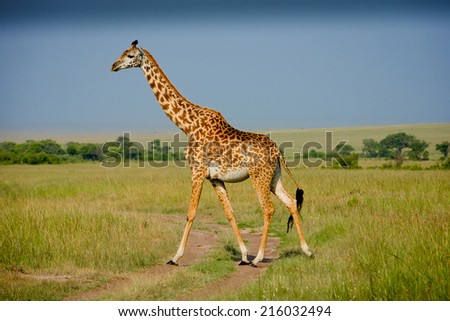 African giraffe - stock photo