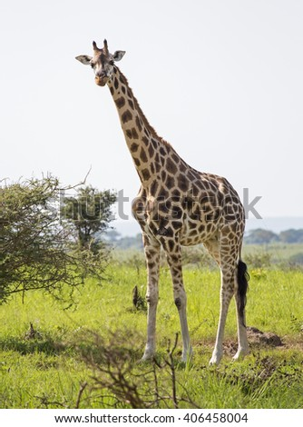 African giraffe at the savanna at Murchison Falls National Park in Uganda, Africa - stock photo