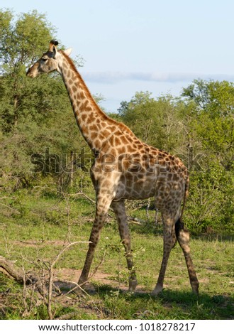 African giraffe on the ground