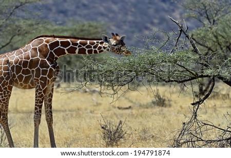 African Giraffes in Samburu National Park. Kenya - stock photo