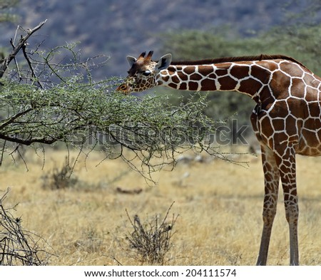 African Giraffes in Samburu National Park. Kenya - stock photo