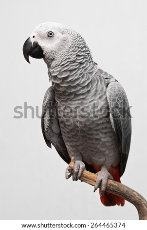 African Gray Parrot - stock photo