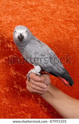 African Gray parrot tropical bird on an orange background - stock photo