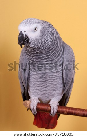 African Gray parrot tropical bird on yellow background - stock photo