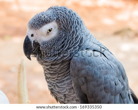 african grey parrot - stock photo