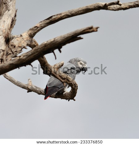 African grey parrot among branches of dry tree - stock photo