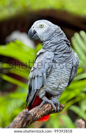 African Grey Parrot in nature surrounding  ( Psittacus erithacus) ,Bali , Indonesia - stock photo