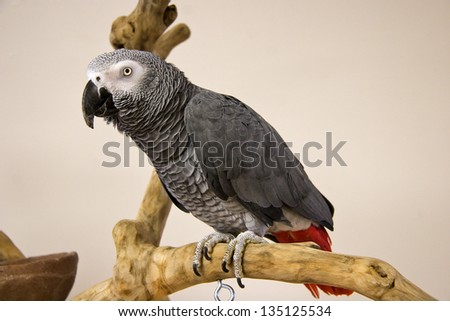 African Grey Parrot Perched on a Tree Stand - stock photo
