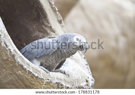 African Grey Parrot sitting in a tree  - stock photo