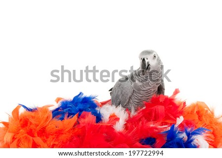 African grey parrot sitting on a colorful nest of colored feathers, isolated on white - stock photo